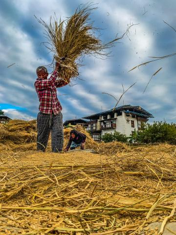 A farmer threshes paddy during harvest