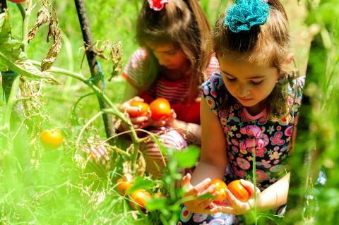 Two young girls picking up tomatoes in a field