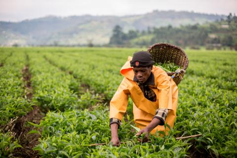 Woman in Rwanda plucks tea on plantation