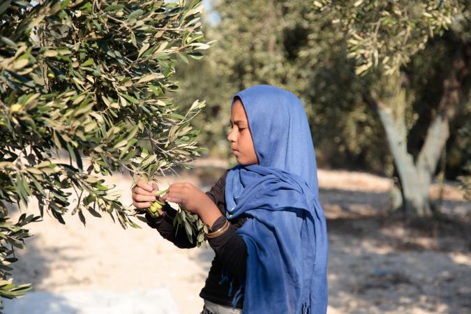 A Syrian girl works long hours picking olives.